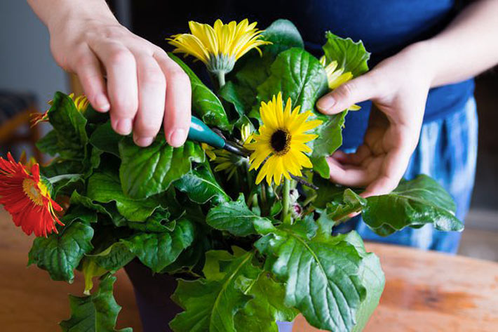 Gerbera Houseplants: Growing Gerbera Daisy Indoors 2