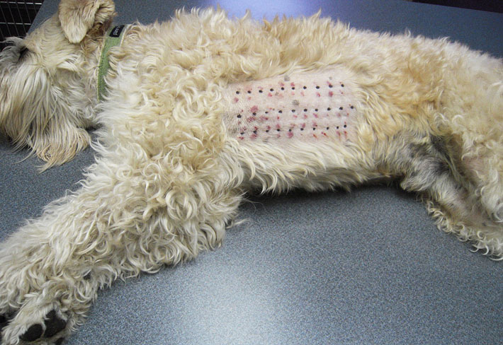 Dog Allergies: Allergy Testing for Dogs