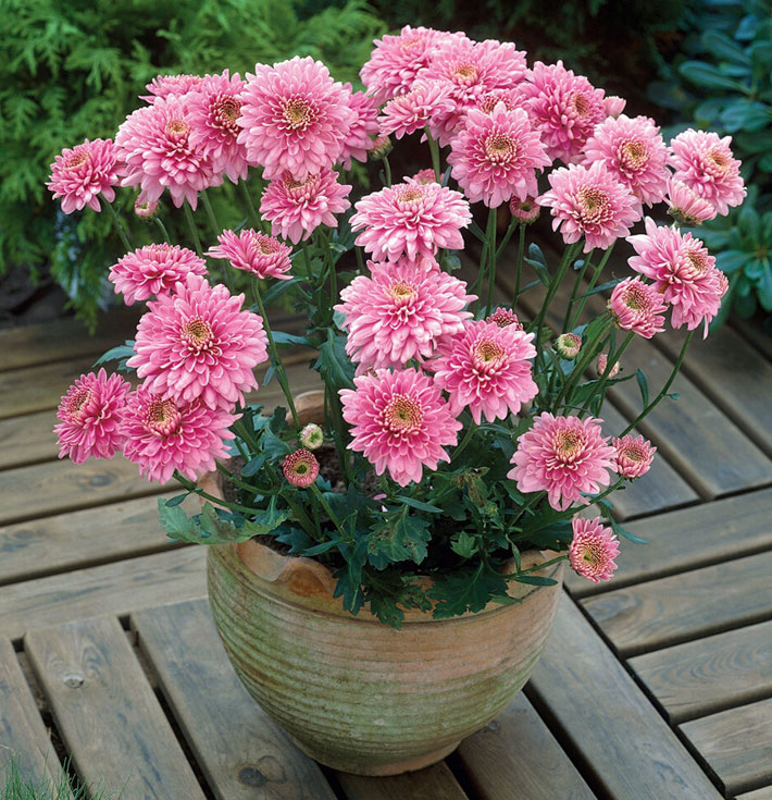 How to Grow Chrysanthemums in Pots