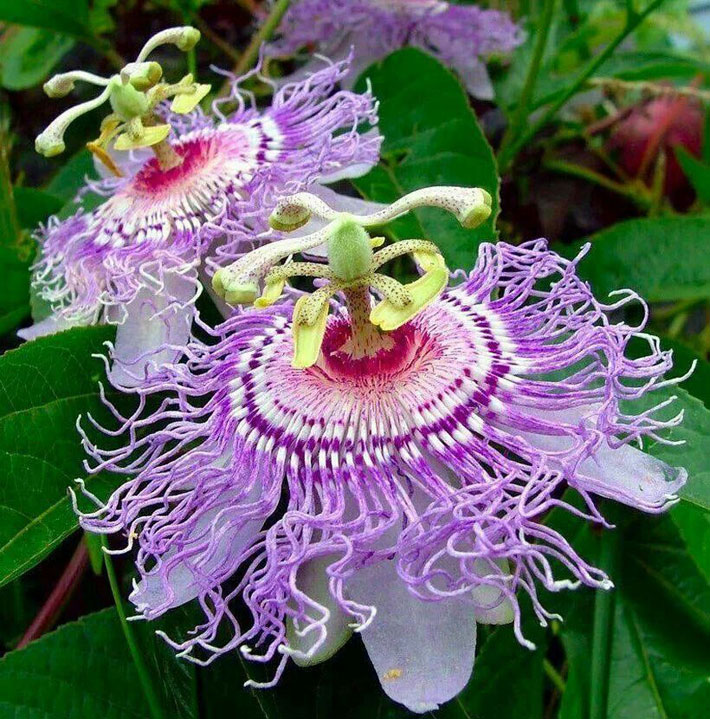 Quiet Corner Container Gardening Ideas: Quiet Corner:Growing Passion Flower In Containers