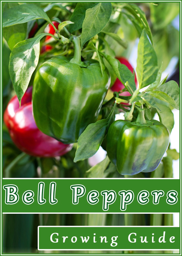 Bell Peppers - Growing Guide - Quiet Corner - Vegetables and Herbs