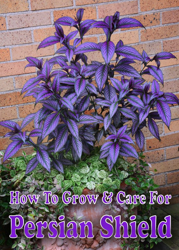 Quiet Corner:How To Grow & Care For Persian Shield - Quiet