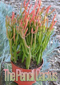 The Pencil Cactus - How to Grow Euphorbia tirucalli at Home
