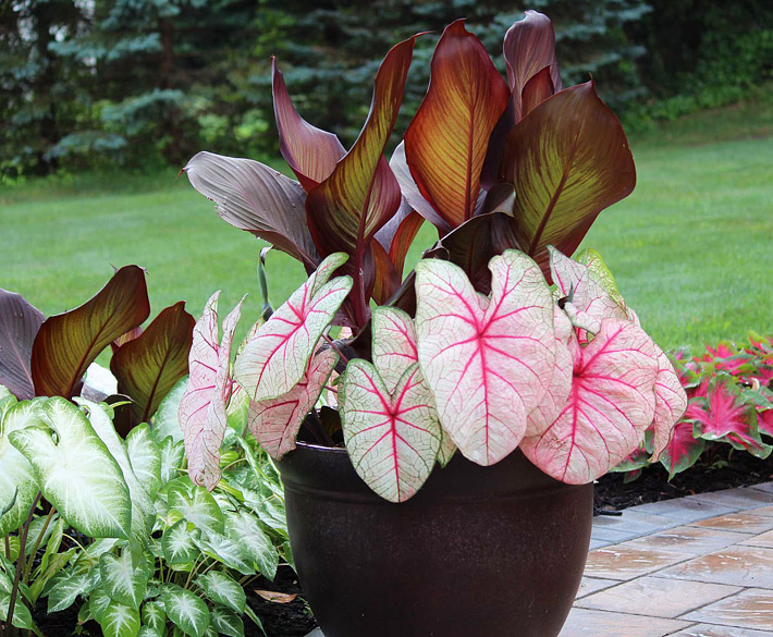 Caladiums - Amazing Colorful Tropical Plants