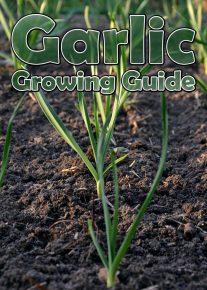 Garlic – Growing Guide 2