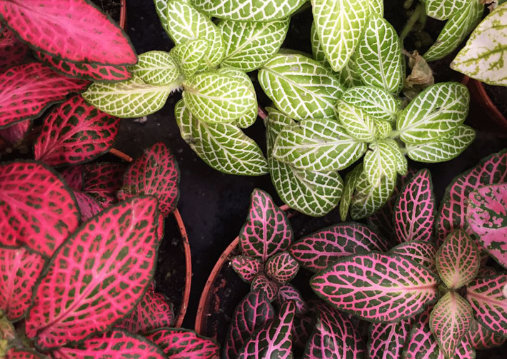 How to Grow and Care for Fittonia (Nerve Plant)
