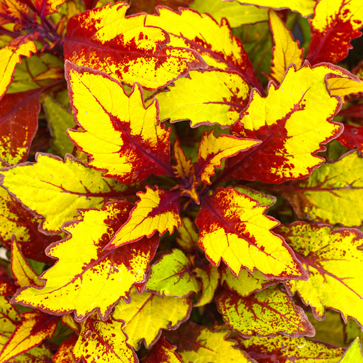 Growing Coleus