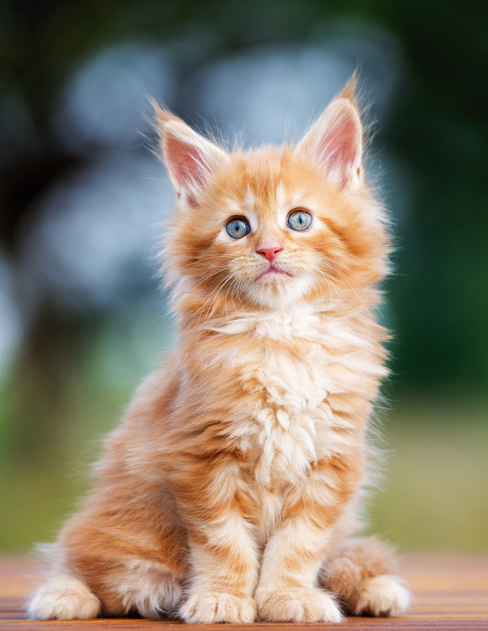 Maine Coon - The Gentle Giant
