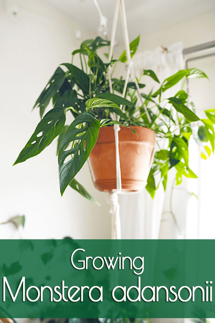 Growing Monstera adansonii