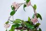 Growing Hoya carnosa Indoors