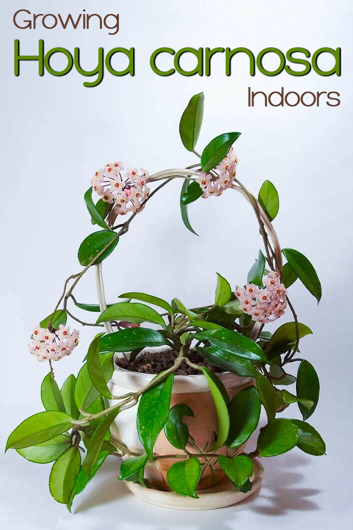 Growing Hoya carnosa Indoors - Quiet Corner