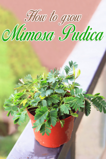 How to grow Mimosa Pudica