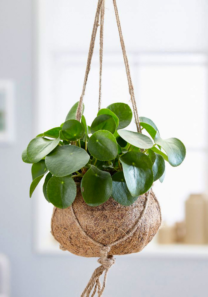 Pilea peperomioides Chinese money plant Care and Info 2