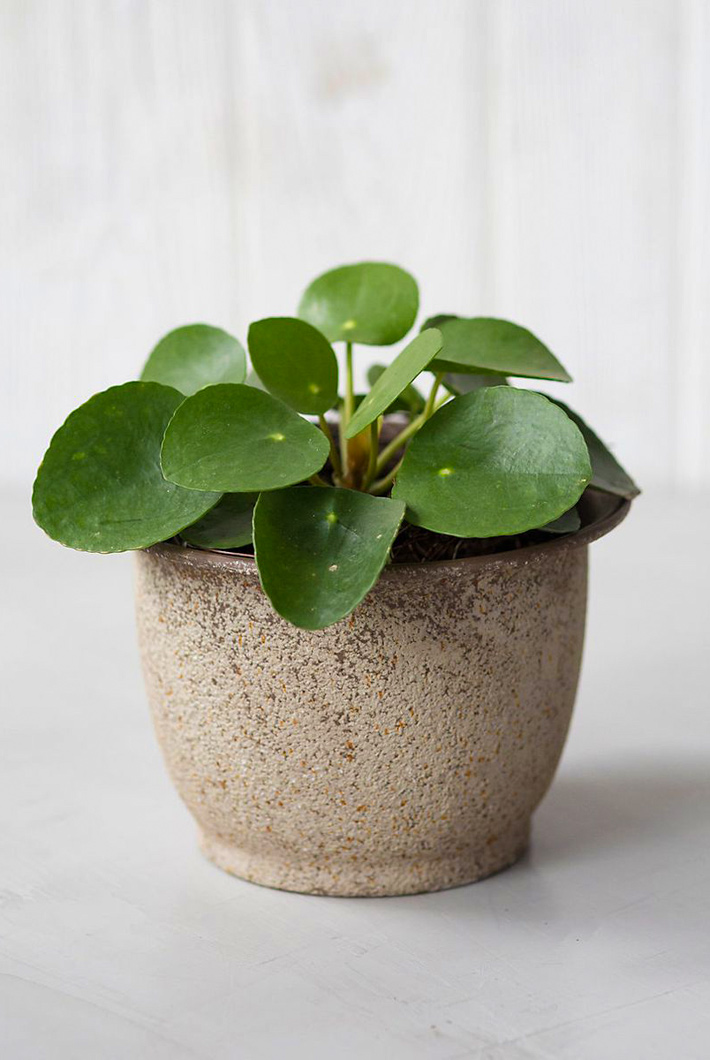 Pilea peperomioides / Chinese money plant: Care and Info