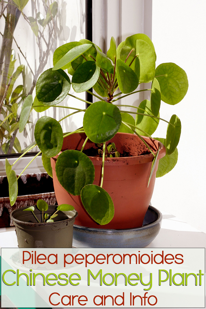 Pilea peperomioides / Chinese money plant: Care and Info - Quiet Corner