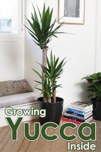 Grow Yucca Inside