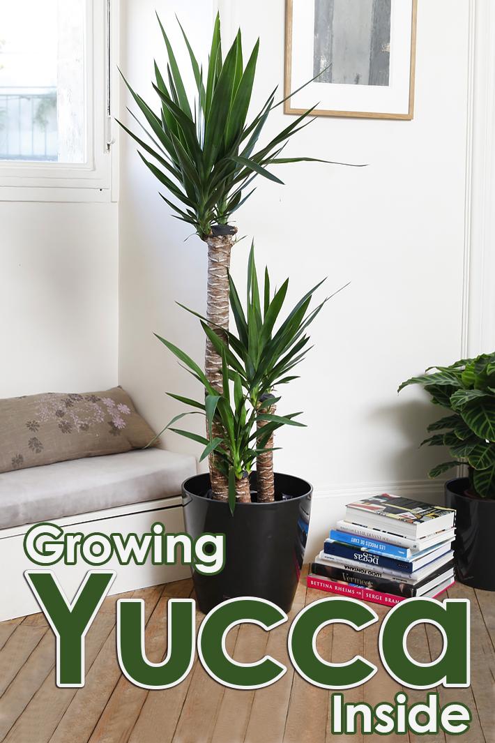 How to Grow Yucca Inside - Quiet Corner