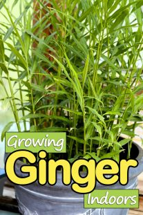 How to Grow Ginger Indoors