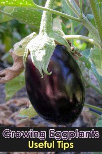 Growing Eggplants: Useful Tips