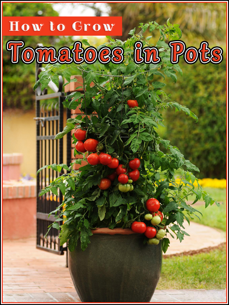 Growing Tomatoes in Pots - Quiet Corner