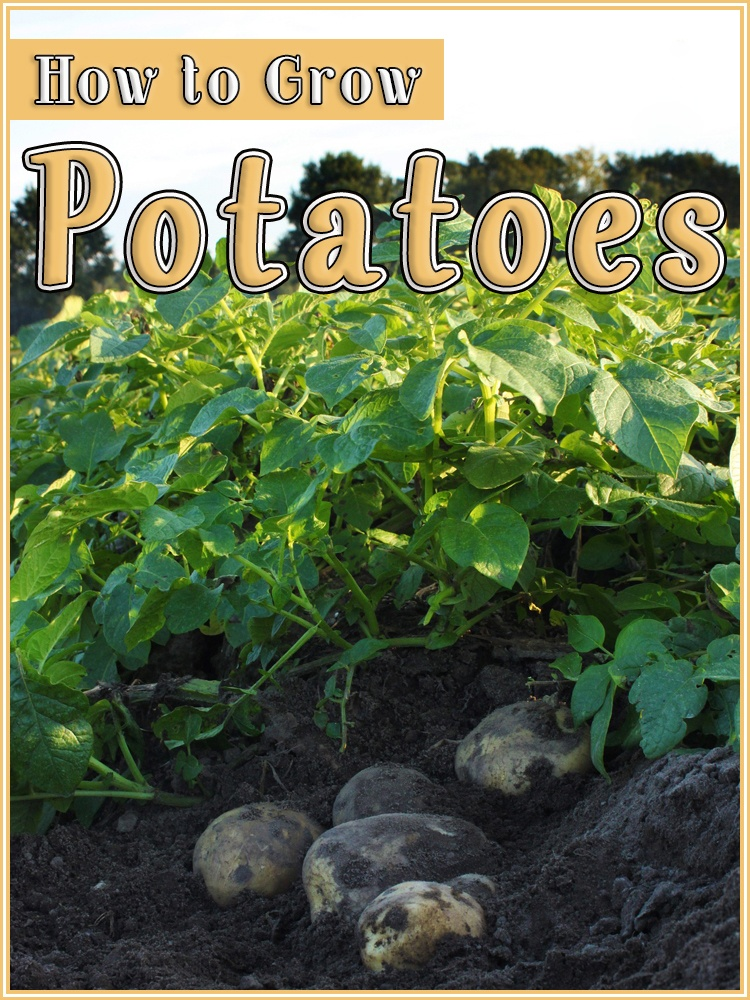 How to Grow Potatoes - Quiet Corner