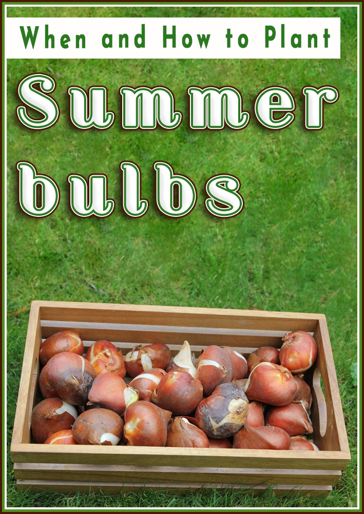 Summer bulbs - When and How to Plant - Quiet Corner