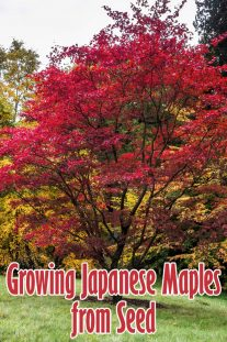 Growing Japanese Maples from Seed